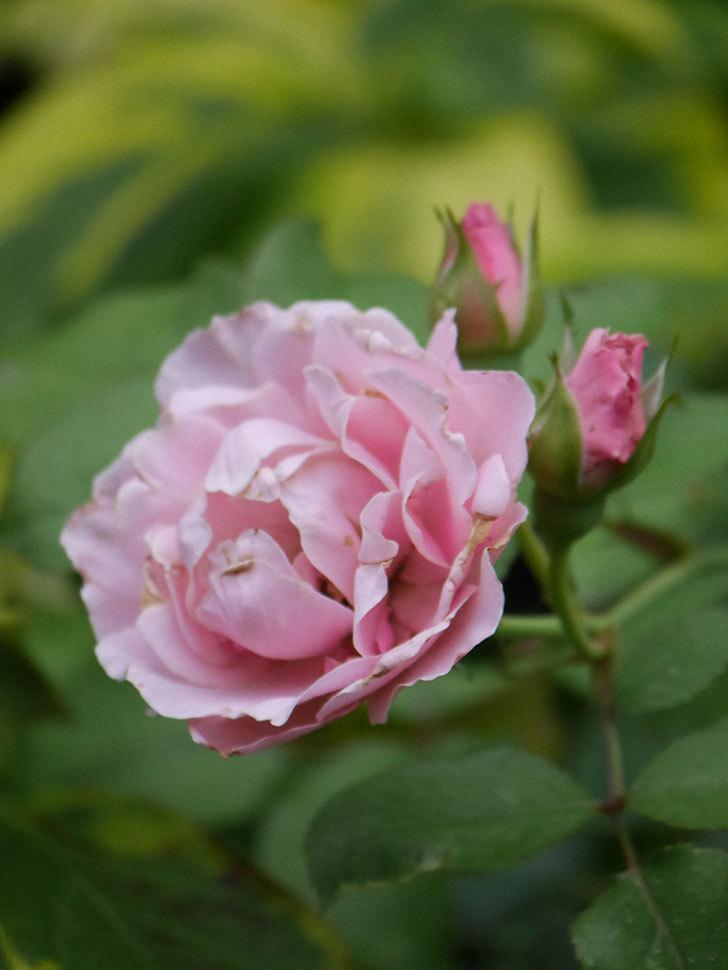 ダフネ(Daphne)の2番花が増えてきた。半ツルバラ。2020年-010.jpg