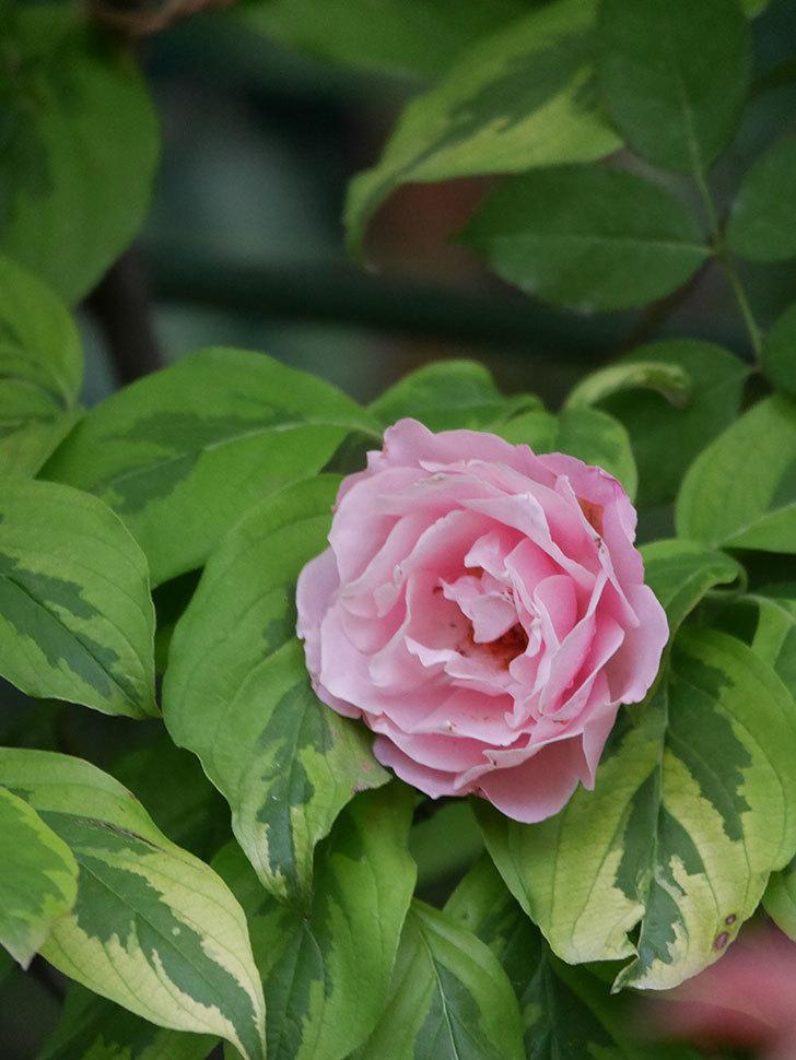 ダフネ(Daphne)の2番花が増えてきた。半ツルバラ。2020年-011.jpg