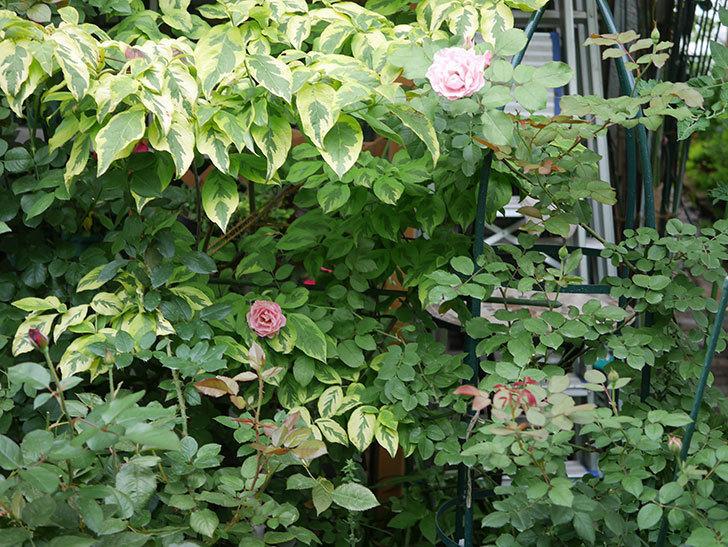 ダフネ(Daphne)の2番花が増えてきた。半ツルバラ。2020年-012.jpg