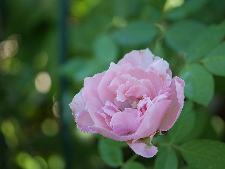 ダフネ(Daphne)の夏花が咲いた。半ツルバラ。2020年-004.jpg