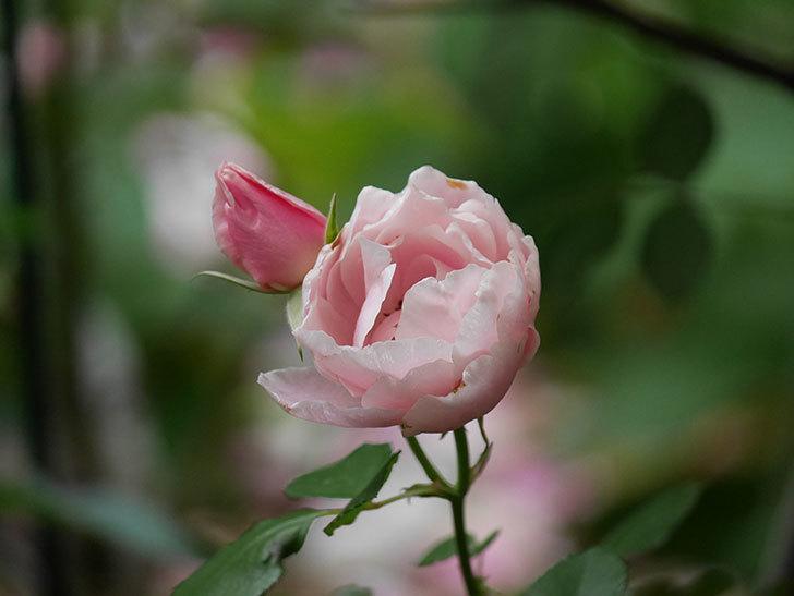 ダフネ(Daphne)の残っていた花が咲いた。半ツルバラ。2020年-002.jpg