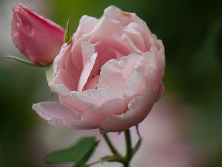 ダフネ(Daphne)の残っていた花が咲いた。半ツルバラ。2020年-003.jpg