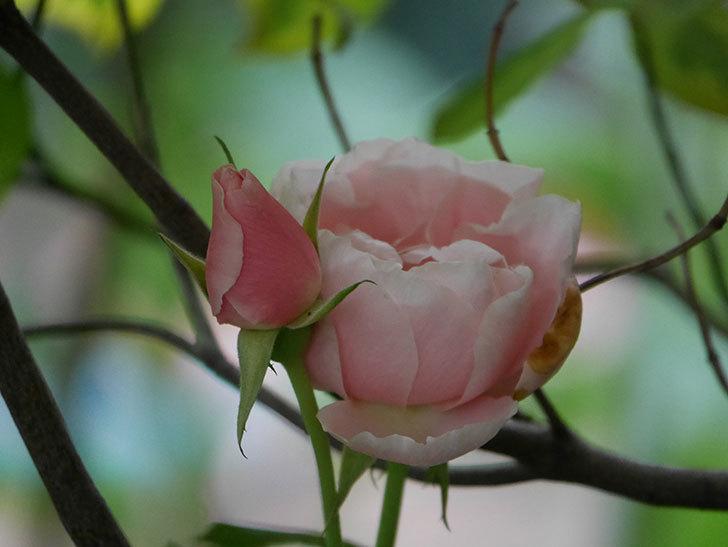 ダフネ(Daphne)の残っていた花が咲いた。半ツルバラ。2020年-004.jpg