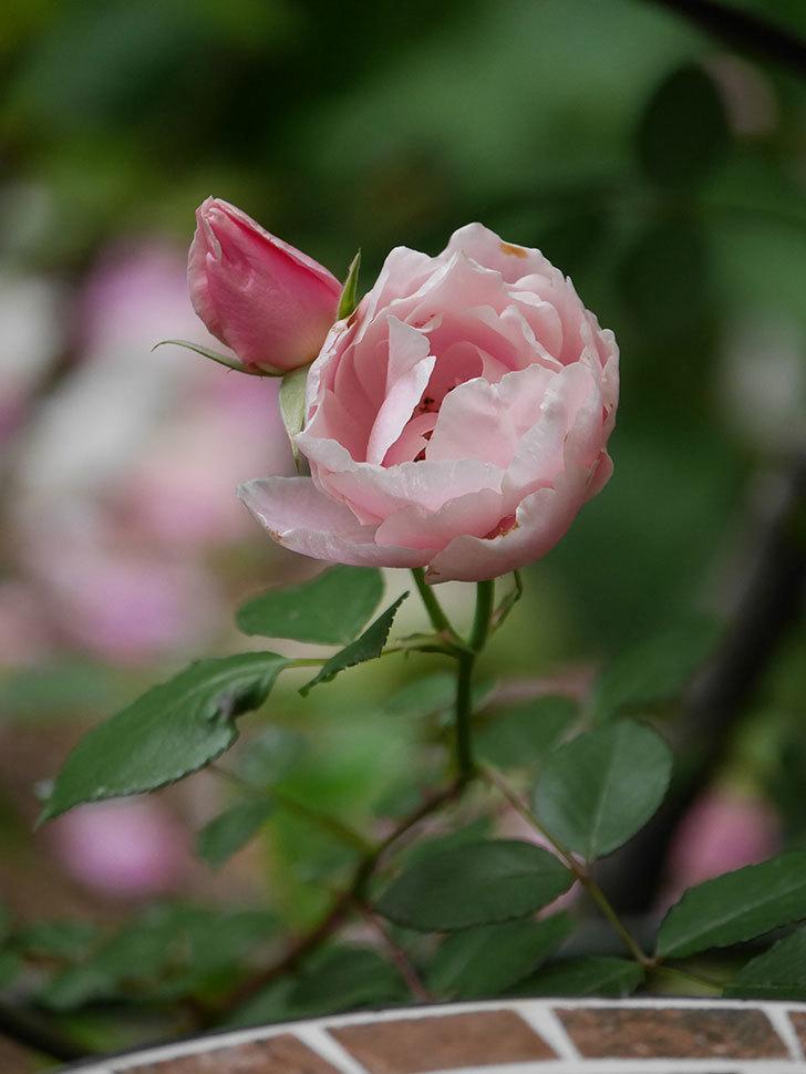 ダフネ(Daphne)の残っていた花が咲いた。半ツルバラ。2020年-006.jpg