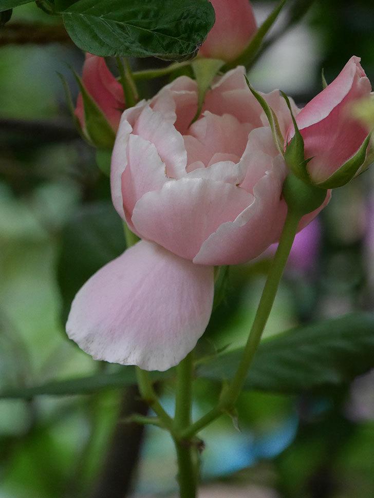 ダフネ(Daphne)の残っていた花が咲いた。半ツルバラ。2020年-008.jpg
