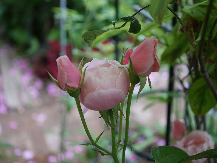 ダフネ(Daphne)の残っていた花が咲いた。半ツルバラ。2020年-009.jpg