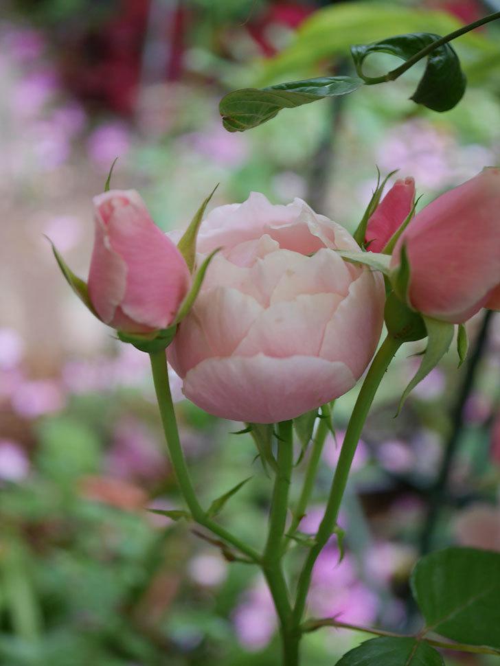 ダフネ(Daphne)の残っていた花が咲いた。半ツルバラ。2020年-010.jpg