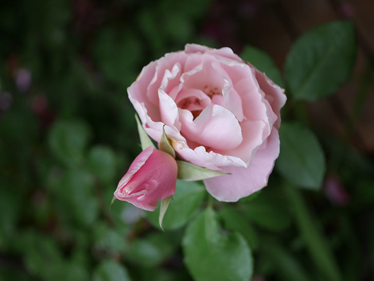ダフネ(Daphne)の残っていた花が咲いた。半ツルバラ。2020年-011.jpg