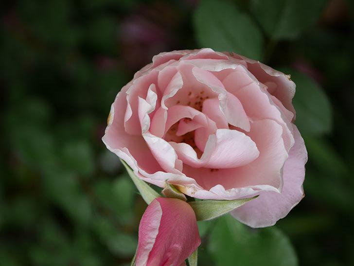 ダフネ(Daphne)の残っていた花が咲いた。半ツルバラ。2020年-012.jpg