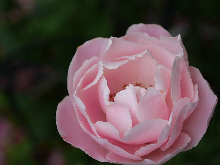 ダフネ(Daphne)の残っていた花が咲いた。半ツルバラ。2020年-013.jpg