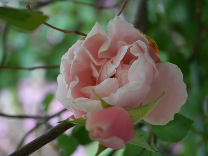 ダフネ(Daphne)の残っていた花が咲いた。半ツルバラ。2020年-014.jpg