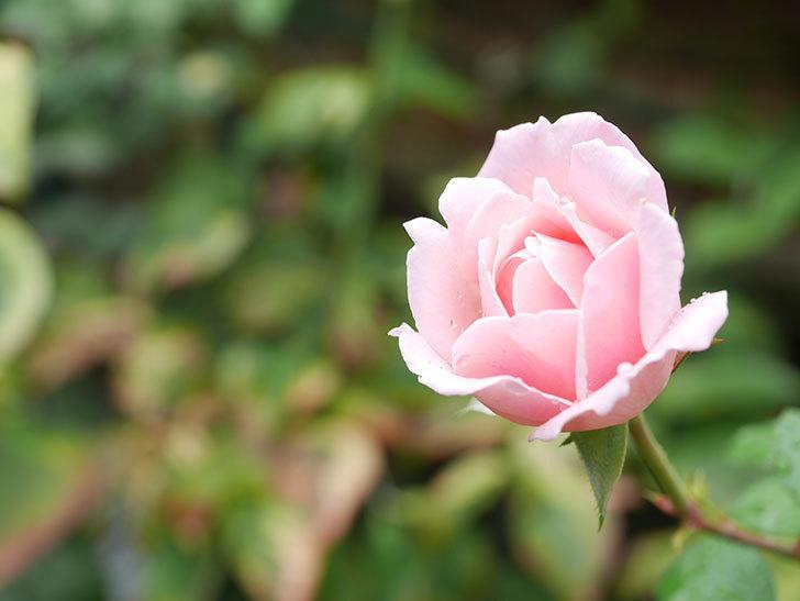 ダフネ(Daphne)の秋花が1個咲いた。半ツルバラ。2021年-008.jpg