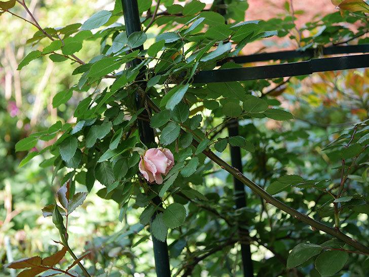 ダフネ(Daphne)の花が少し咲いた。半ツルバラ。2021年-001.jpg