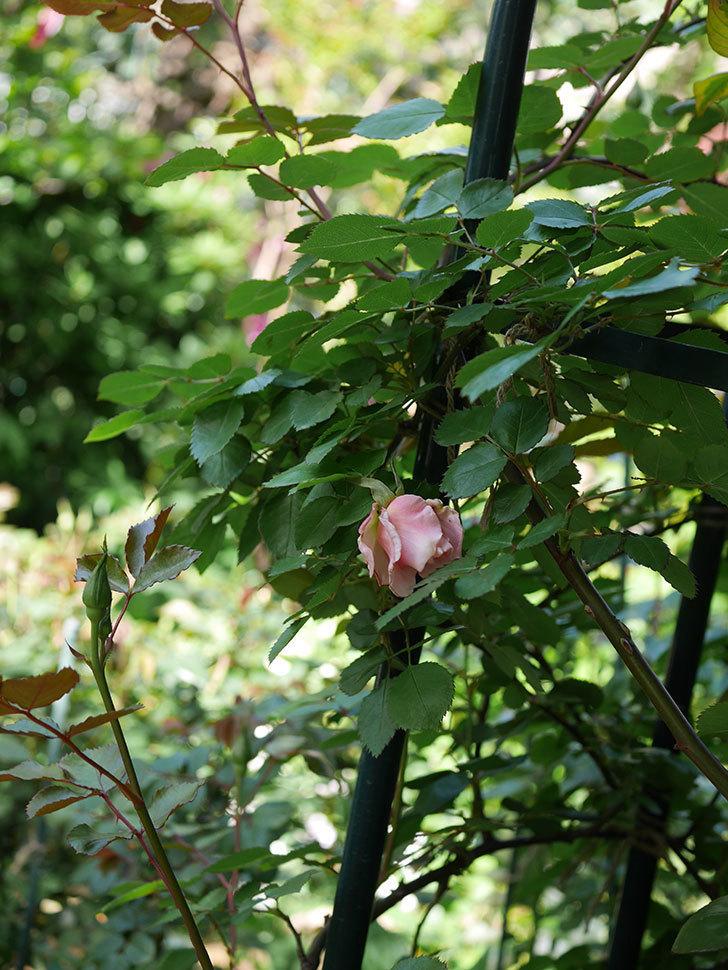 ダフネ(Daphne)の花が少し咲いた。半ツルバラ。2021年-002.jpg