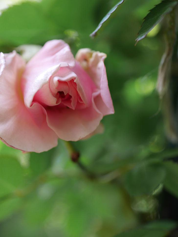 ダフネ(Daphne)の花が少し咲いた。半ツルバラ。2021年-003.jpg