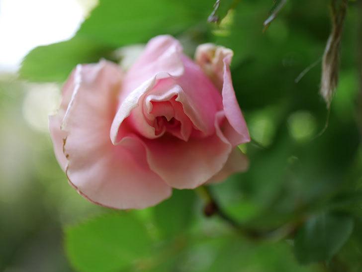 ダフネ(Daphne)の花が少し咲いた。半ツルバラ。2021年-004.jpg