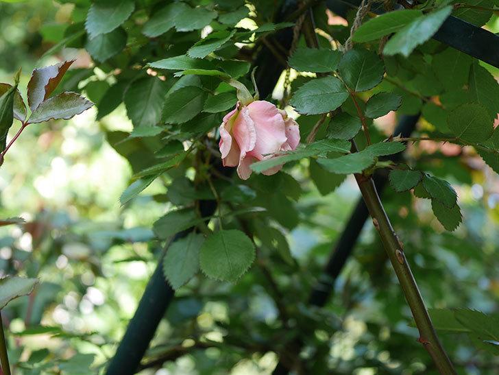ダフネ(Daphne)の花が少し咲いた。半ツルバラ。2021年-005.jpg