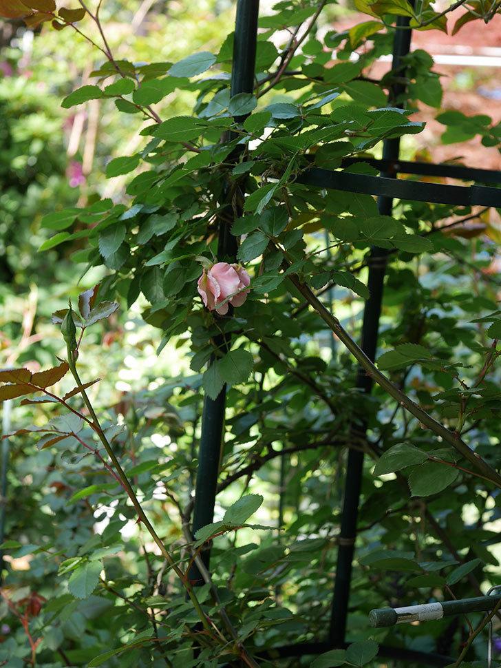 ダフネ(Daphne)の花が少し咲いた。半ツルバラ。2021年-006.jpg