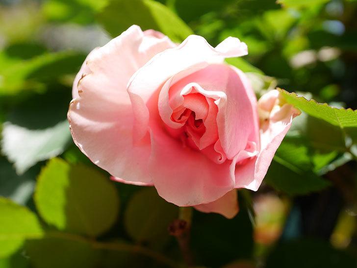 ダフネ(Daphne)の花が少し咲いた。半ツルバラ。2021年-011.jpg