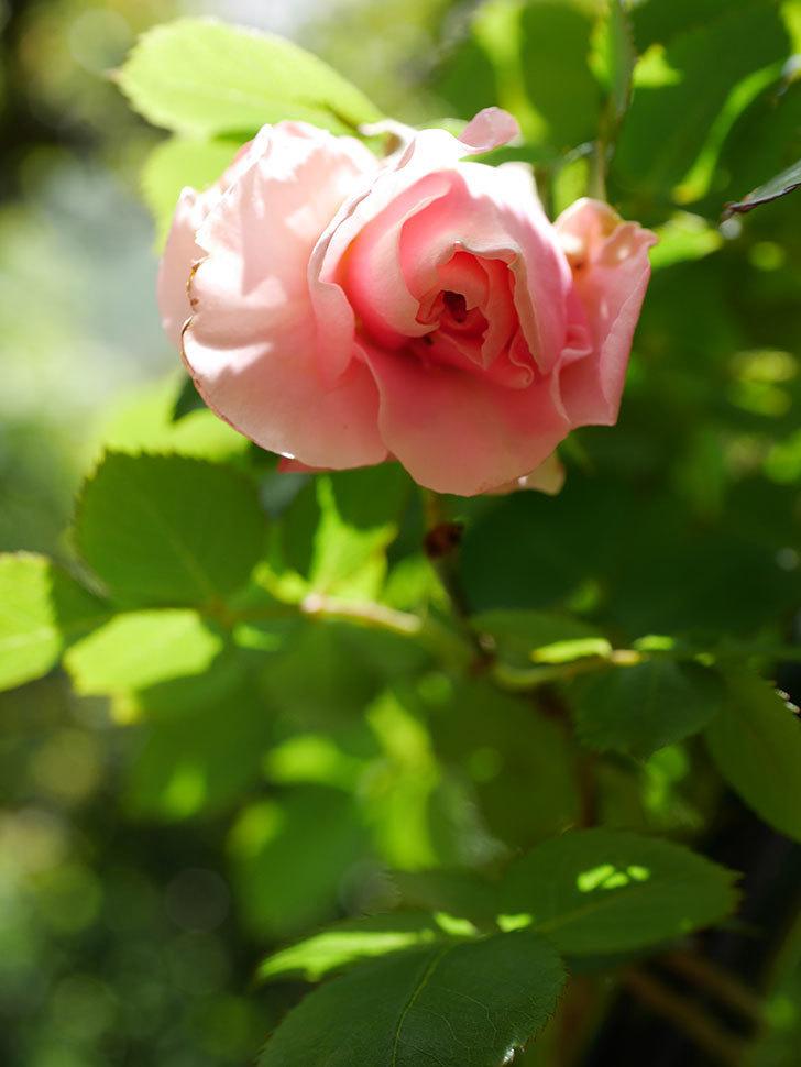 ダフネ(Daphne)の花が少し咲いた。半ツルバラ。2021年-012.jpg