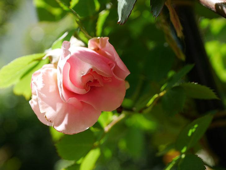 ダフネ(Daphne)の花が少し咲いた。半ツルバラ。2021年-013.jpg