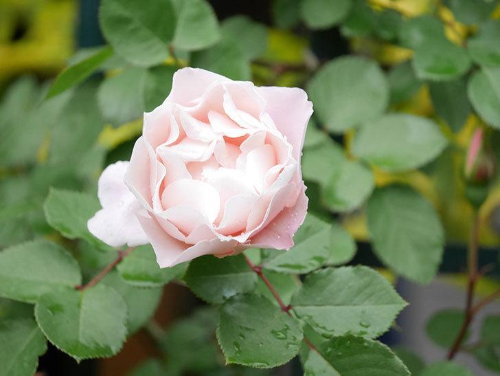 ダフネ(Daphne)の花が本格的に咲きだした。半ツルバラ。2021年-016.jpg