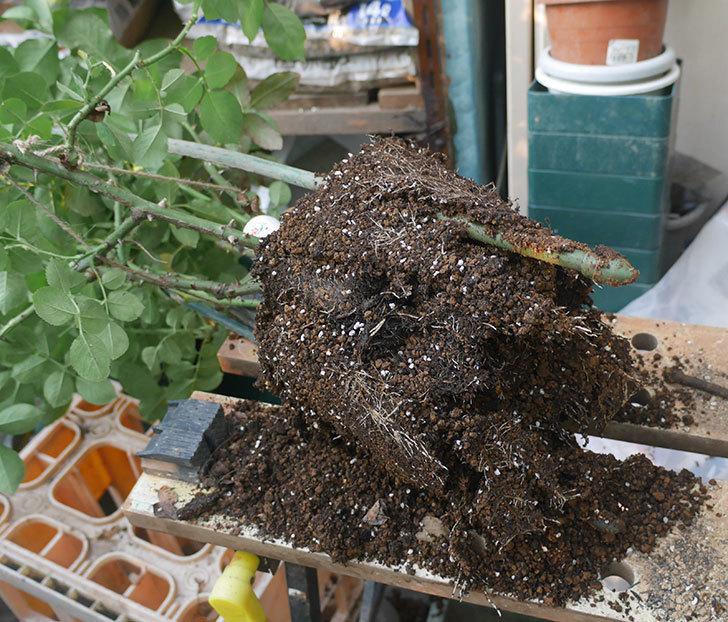 ダフネ(半ツルバラ)の大苗をロゼアスクエア-330型に鉢増しした。2019年-1.jpg