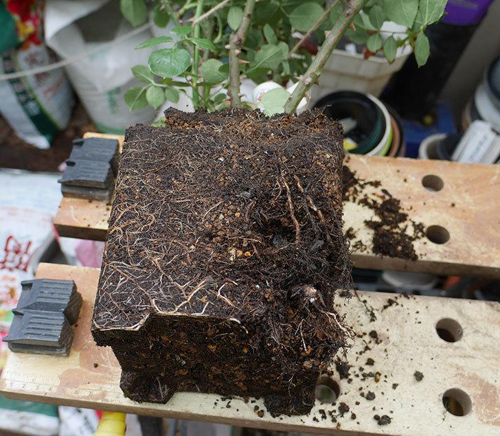 ダフネ(半ツルバラ)の大苗をEUスリット鉢-EU-24L(8号深鉢)に植え換えた。2019年-1.jpg