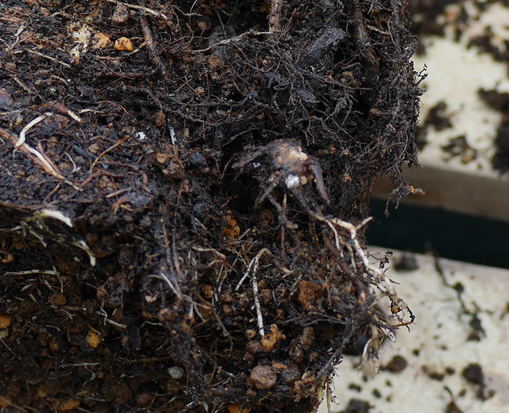 ダフネ(半ツルバラ)の大苗をEUスリット鉢-EU-24L(8号深鉢)に植え換えた。2019年-2.jpg