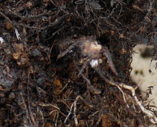 ダフネ(半ツルバラ)の大苗をEUスリット鉢-EU-24L(8号深鉢)に植え換えた。2019年-3.jpg
