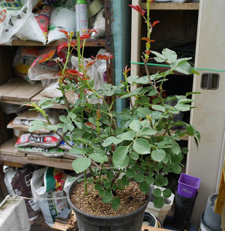 ダフネ(半ツルバラ)の大苗をEUスリット鉢-EU-24L(8号深鉢)に植え換えた。2019年-4.jpg