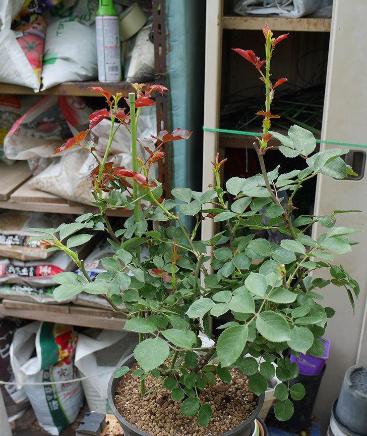 ダフネ(半ツルバラ)の大苗をEUスリット鉢-EU-24L(8号深鉢)に植え換えた。2019年-5.jpg