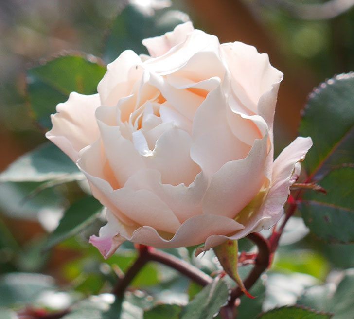 ダフネ(半ツルバラ)の花がまだ咲いている。2020年-3.jpg