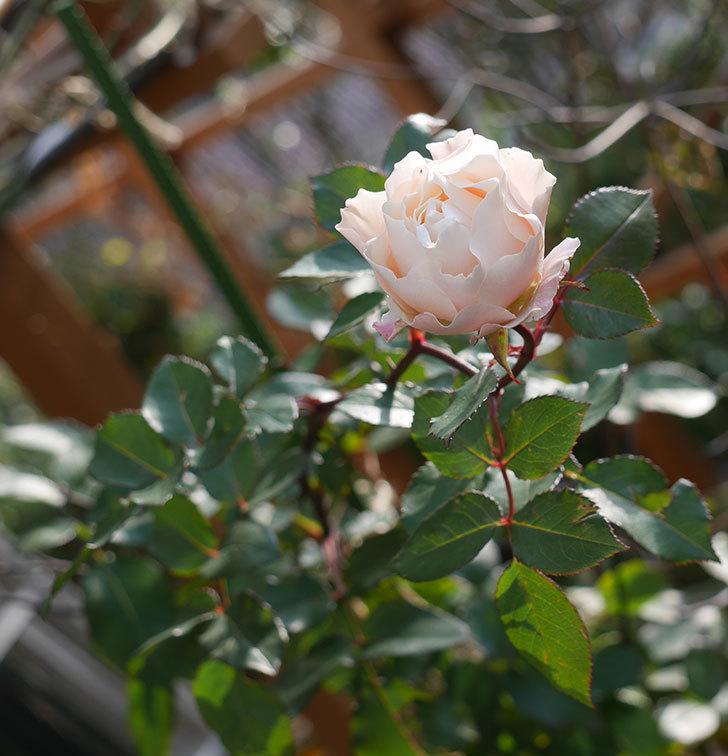 ダフネ(半ツルバラ)の花がまだ咲いている。2020年-4.jpg