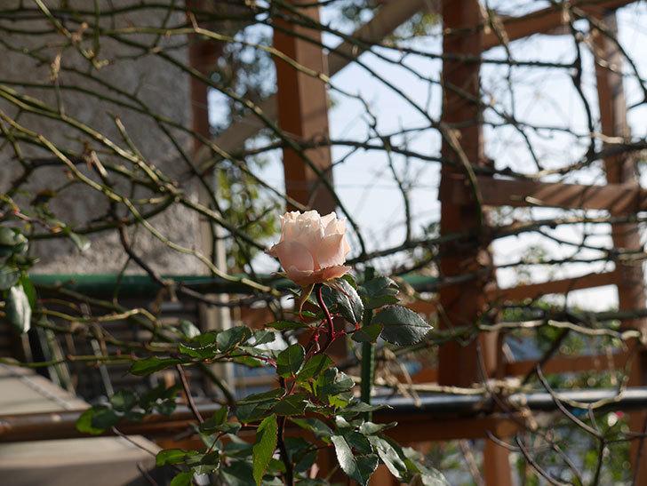 ダフネ(半ツルバラ)の花がまだ咲いている。2020年-5.jpg