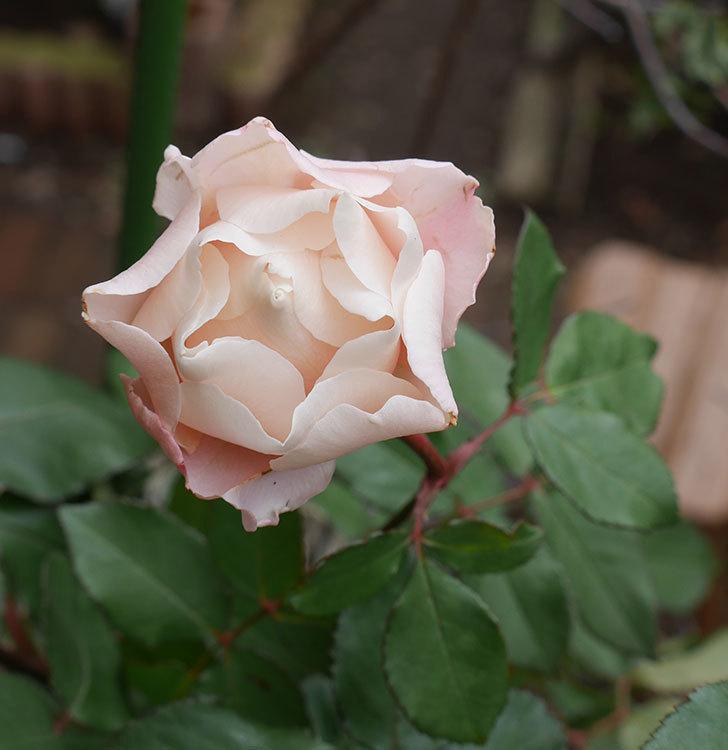 ダフネ(半ツルバラ)の花が咲いた。2019年-1.jpg