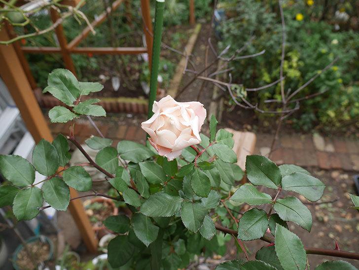 ダフネ(半ツルバラ)の花が咲いた。2019年-2.jpg