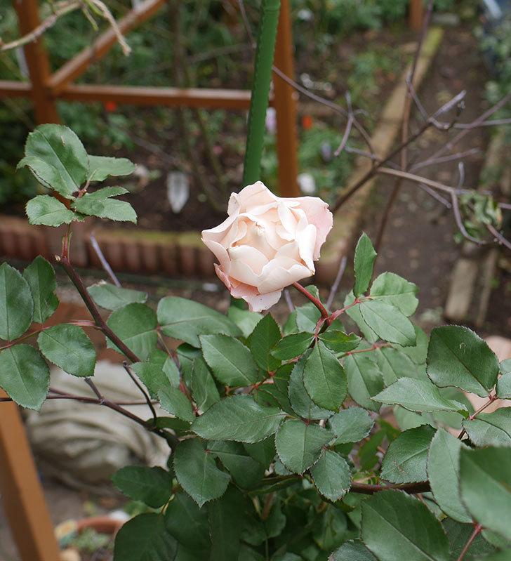 ダフネ(半ツルバラ)の花が咲いた。2019年-4.jpg