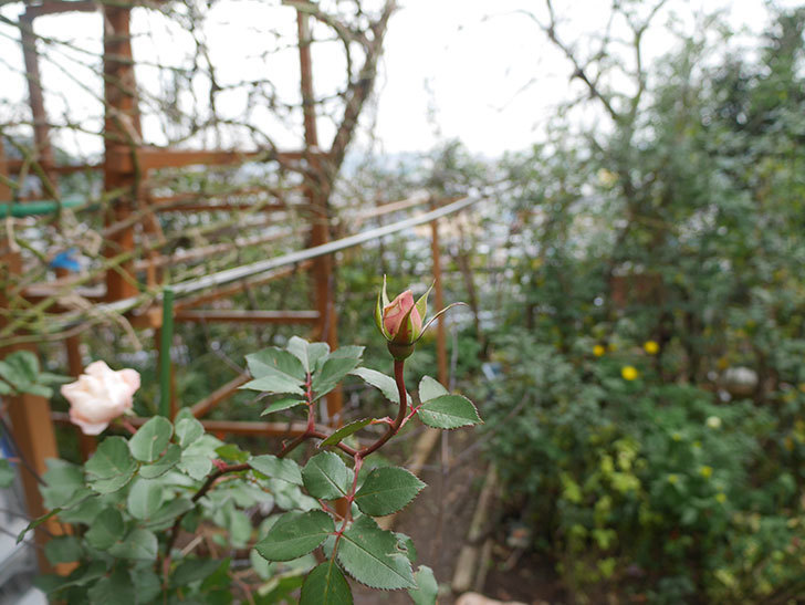 ダフネ(半ツルバラ)の花が咲いた。2019年-5.jpg