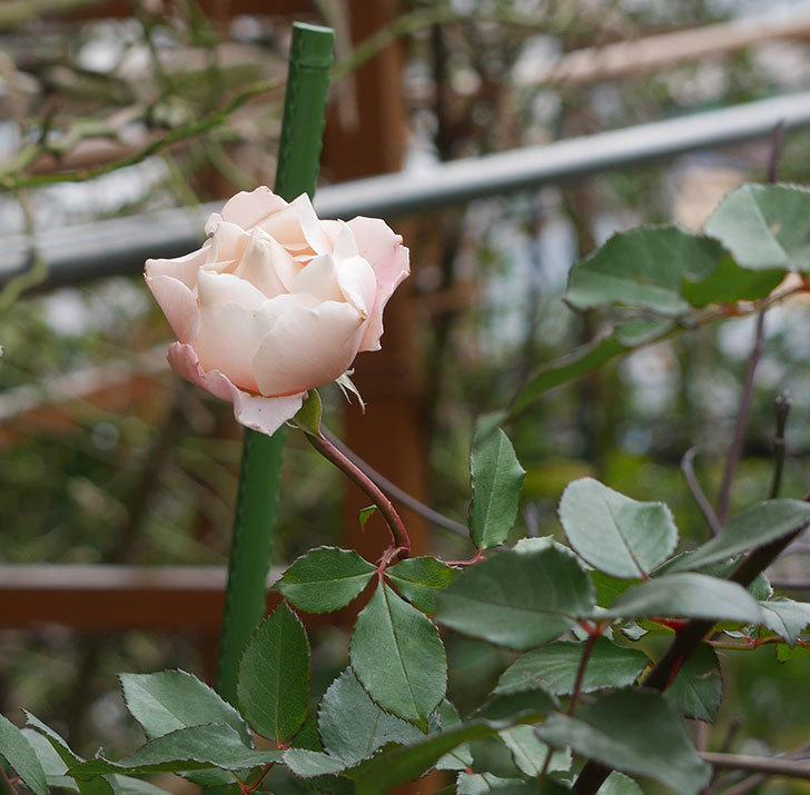 ダフネ(半ツルバラ)の花が咲いた。2019年-7.jpg
