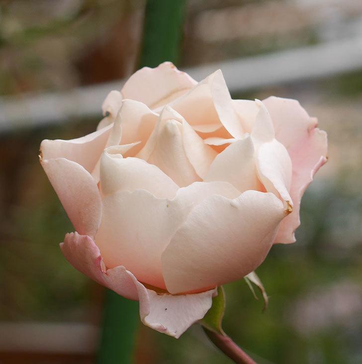 ダフネ(半ツルバラ)の花が咲いた。2019年-8.jpg
