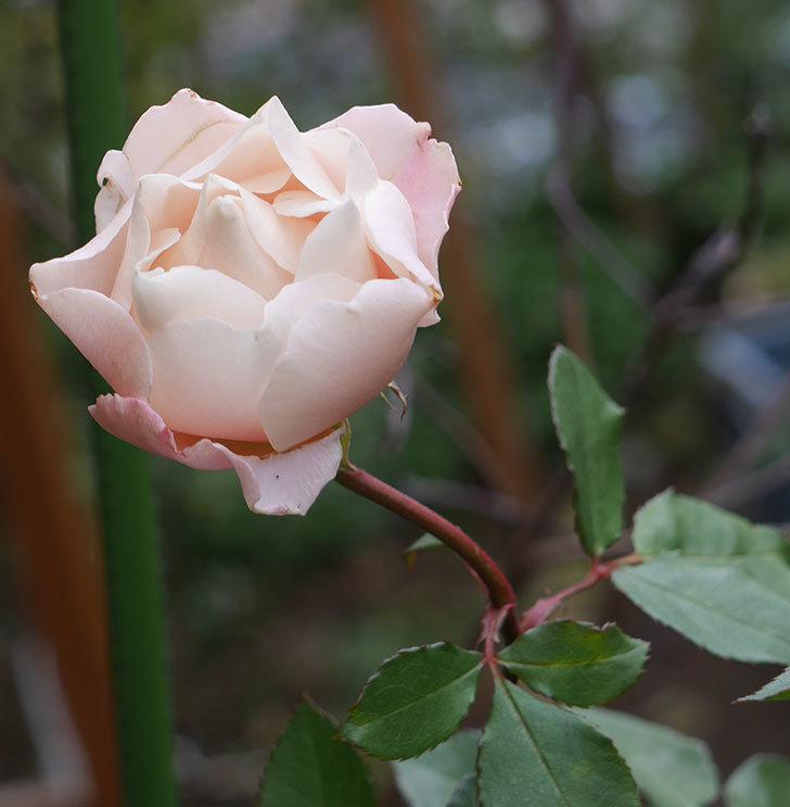 ダフネ(半ツルバラ)の花が咲いた。2019年-9.jpg