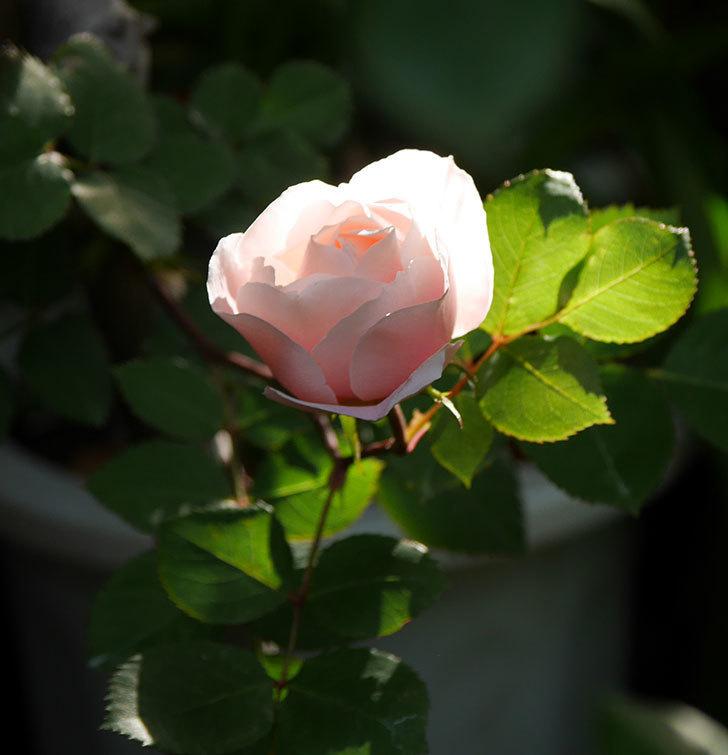 ダフネ(半ツルバラ)の花が咲きだした。2020年-1.jpg