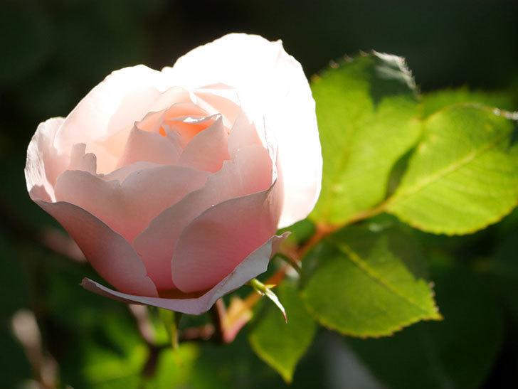 ダフネ(半ツルバラ)の花が咲きだした。2020年-3.jpg