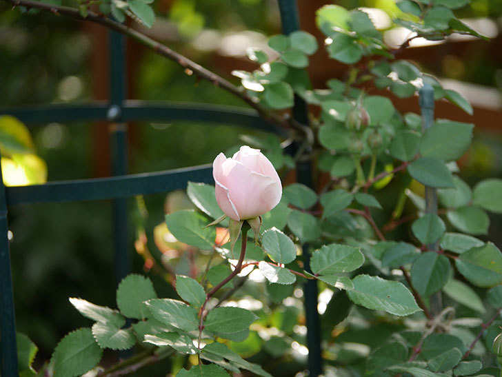 ダフネ(半ツルバラ)の花が咲きだした。2020年-4.jpg