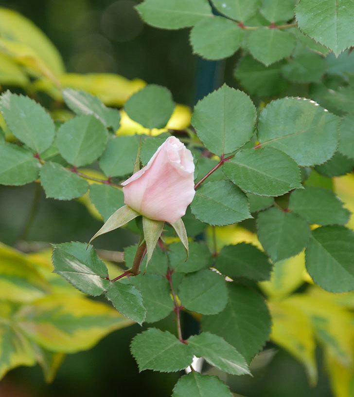 ダフネ(半ツルバラ)の花が咲きだした。2020年-5.jpg