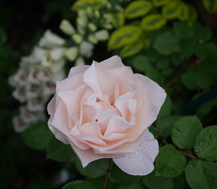 ダフネ(半ツルバラ)の花が増えてきた。2020年-1.jpg
