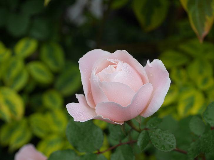 ダフネ(半ツルバラ)の花が増えてきた。2020年-3.jpg