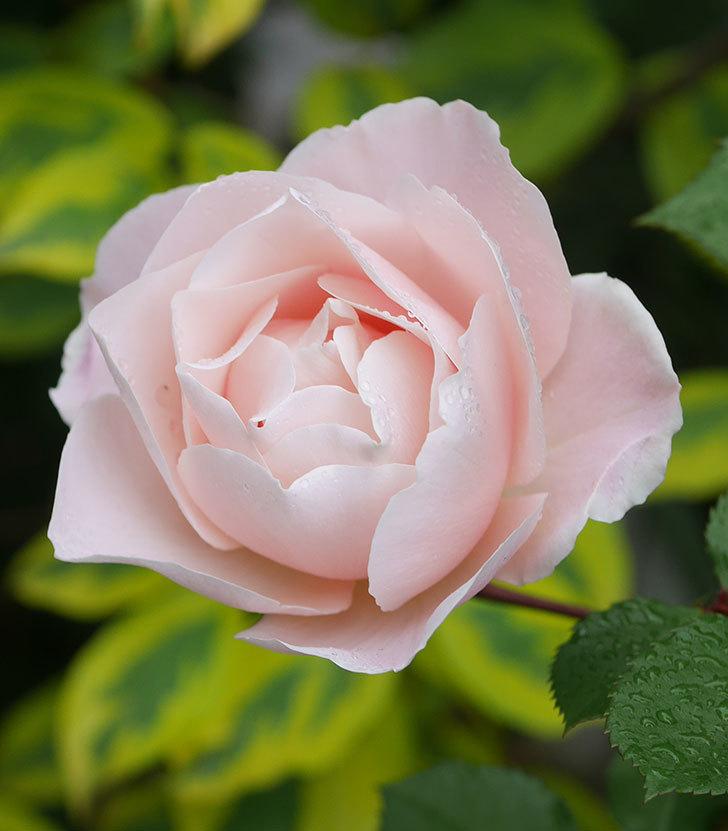 ダフネ(半ツルバラ)の花が増えてきた。2020年-5.jpg