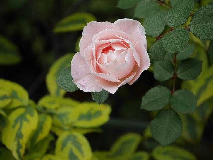 ダフネ(半ツルバラ)の花が増えてきた。2020年-7.jpg